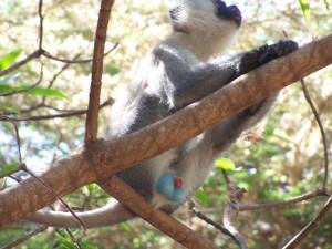 Blue-balled Baboon