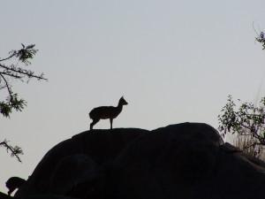 Cliff-springer antelope