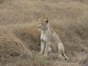 same lioness, watching an ostrich