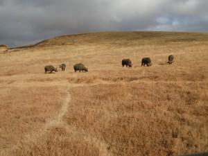 Small cape buffalo herd